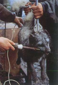 Pellicce animali for Morte con sedia elettrica