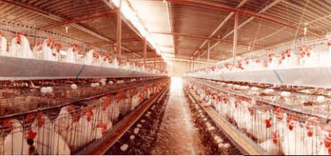 Uova oggi o gallina domani? 2